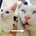 "Beautiful cat ""Setsu"", a severe sleeping face are topics."